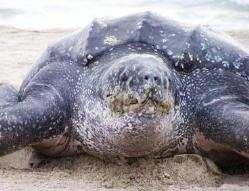 Leatherback Turtle Spotted in Manx Waters
