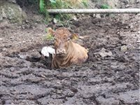 Cow rescued after getting stuck in slurry pit