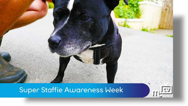 Preview of - Super Staffie Awareness Week