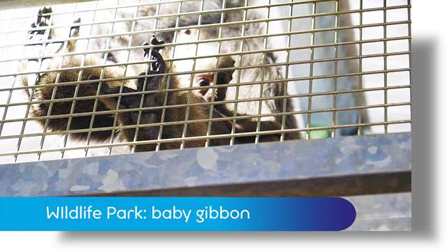 Preview of - Curraghs Wildlife Park: baby gibbon