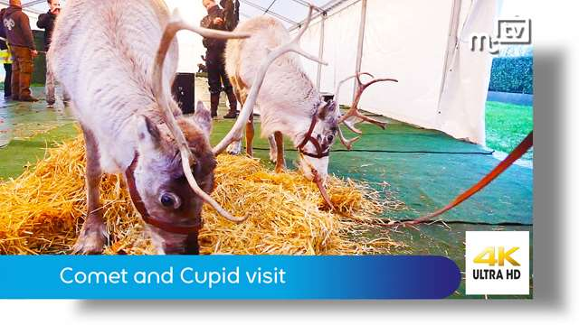 Preview of - Comet and Cupid reindeers Isle of Man visit