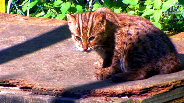 Preview of - Fishing Cat Kitten